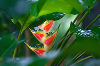 Heliconia flowers (Heliconia wagneriana) in a rainforest garden, Sepilok, Malaysia