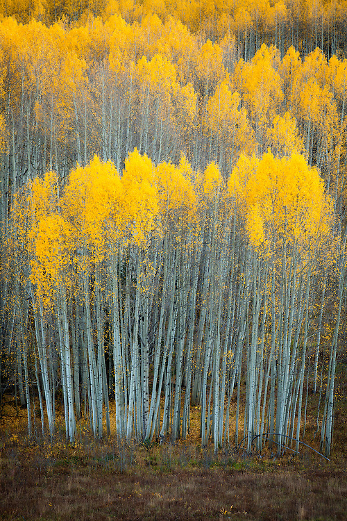 Autumn color on Kebler Pass. Gunnison National Forest near Crested Butte, Colorado.