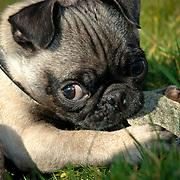 Pug pups