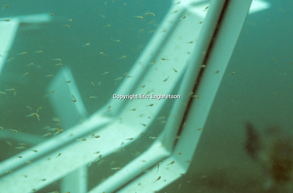 Close-up of largemouth bass fry sourrounding a Fish Hiding Structure.<br />