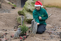 ZSL London Zoo, London, December 15th 2016. Christmas comes ten days early for the Sumatran tiger cubs at at ZSL London Zoo. Mother Melati and her two cubs Achilles and Karis wake up to Christmas presents in their enclosure and the two unruly six-month-old cubs set about opening them. PICTURED: Zookeeper Veronica Held feed meerkats Christmas treats.