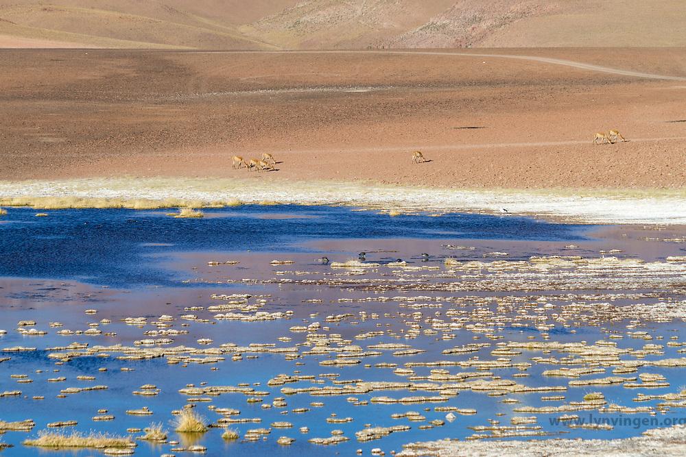 Vicuñas in Andean landscape, dotted with volcanos, salty lake in the foreground. Location: Between San Pedro de Atacama and El Tatio geysir field, in the Atacama desert, north Chile