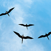 """Frigatebirds (in the genus Fregata, in the family Fregatidae) sail the breeze over a ship in the Galápagos Islands, a province of Ecuador, 972 km west of the continent of South America. Related to pelicans, some call them a """"frigate pelican"""". They have long wings, tails and bills and the males have a red gular pouch that is inflated during the breeding season to attract a mate. Frigatebirds are pelagic piscivores which obtain most of their food on the wing. A small amount of their diet is obtained by robbing other seabirds, a behavior that has given the family its name, and by snatching seabird chicks. Frigatebirds are seasonally monogamous, and nest colonially. A rough nest is constructed in low trees or on the ground on remote islands. A single egg is laid each breeding season. The duration of parental care in frigatebirds is the longest of any bird."""