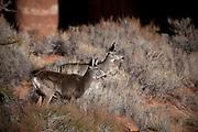 UT00132-00...UTAH - Mule deer in Aeches National Park.