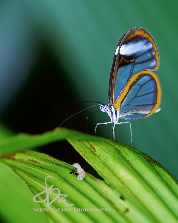 David and Goliath - Glass Wing Butterfly and worker ant