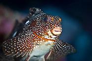 Aplodactylus etheridgii (Notch-head marblefish)