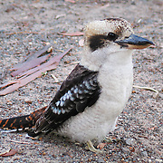 """A Kookaburra patrols Emu Park Holiday Park, in the beautiful Wartook Valley, in the Northern Grampians region, Victoria, Australia. The Laughing Kookaburra (Dacelo novaeguineae) is a carnivorous bird in the Kingfisher family (Halcyonidae). It is native to eastern mainland Australia and has also been introduced to Tasmania, Flinders Island, and Kangaroo Island. Kookaburra is a loanword """"guuguubarra"""" (from the now extinct Aboriginal language Wiradjuri). Kookaburras (genus Dacelo) include four known species of large terrestrial kingfishers native to Australia and New Guinea, best known for their unmistakable call, like loud echoing, hysterical human laughter. They can be found in habitats ranging from humid forest to arid savanna, but also in suburban and residential areas near running water and food."""