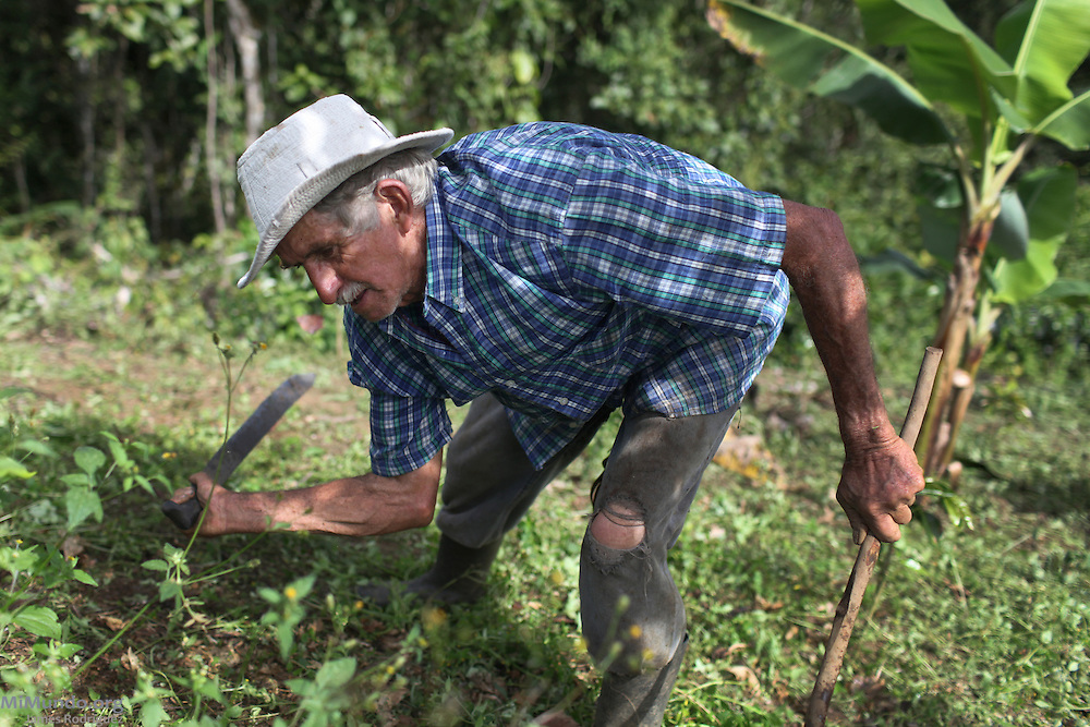 Edwin Trigueros Novadilla, 71, small-scale coffee producer and 34-year member of COOPROSANVITO from the community of El Roble, weeds out his coffee fields. COOPROSANVITO, San Vito, Coto Brus, Puntarenas, Costa Rica. August 29, 2012.