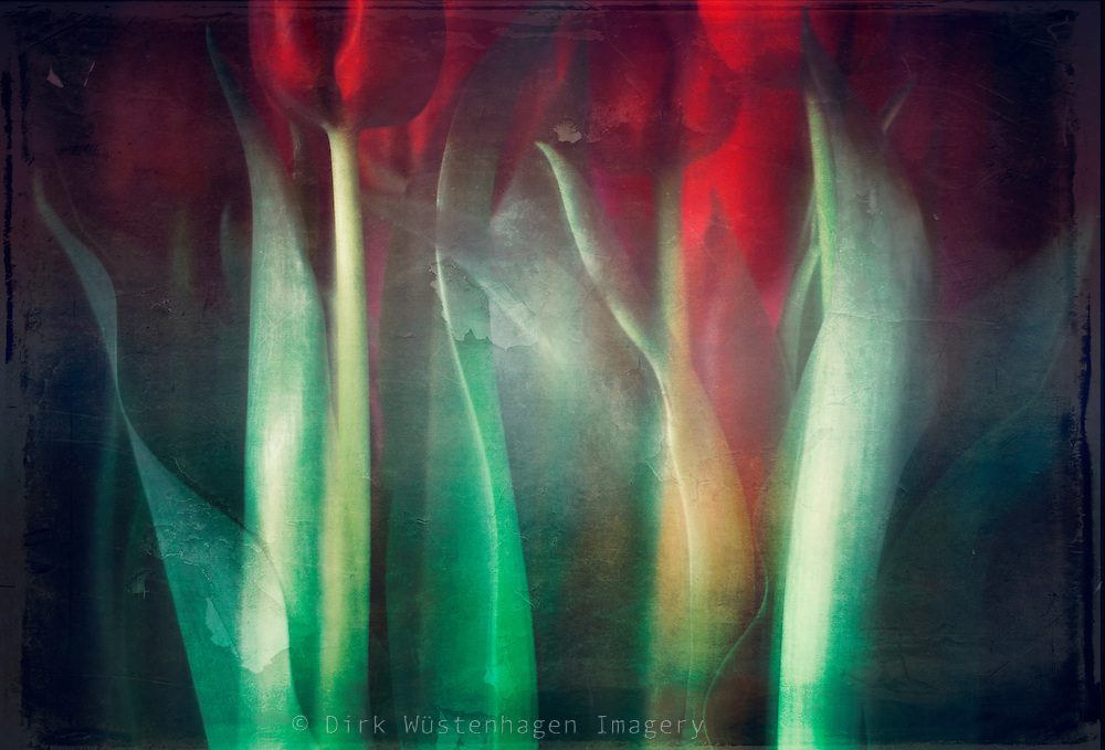 Red tulips in a vase - camera movement & textures