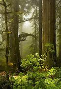 Del Norte Coast Redwood State Park, redwood trees, California