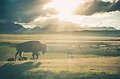 Buffalo/Bison