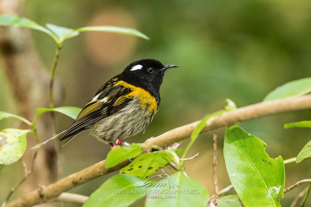 After the extinction of stitchbird on mainland New Zealand in the 1880s, the success of the stitchbird's growing population on Tiritiri Matangi Island has allowed for reintroduction of hihi back to Zealandia and Ark in the Park.