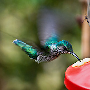 "A hummingbird sucks sugar water from feeders at the lower elevations (about 1400 meters) of Bellavista Cloud Forest Reserve, in the ""Mindo Area of International Importance for Birds,"" Tandayapa Valley, near Quito, Ecuador, South America."