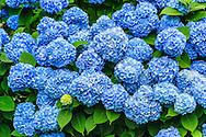 Summer Bloom, Hydrangea,  Gin Lane, Southampton, NY