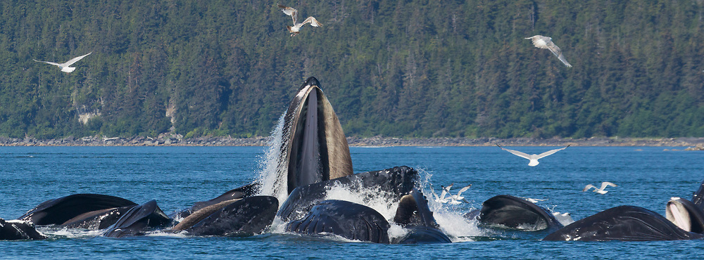 A group of humpback whales (Megaptera Novaeangliae) bubblenet feeding near Juneau.