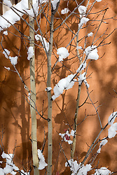 aspen tree in snow against an adobe wall in Santa Fe, NM