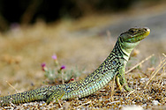 Lacerta lepida lizard showing off