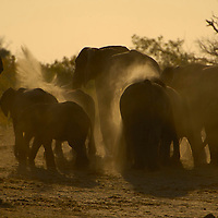 Elephants dust bathing Ngeshla pan