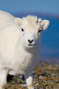 Dall's Sheep, Ovis dalli dalli, lamb, early winter, alpine tundra;  closeup, inhabits mountains in Alaska and Canada; Denali National Park, Alaska, ©Craig Brandt, all rights reserved; brandt@mtaonline.net