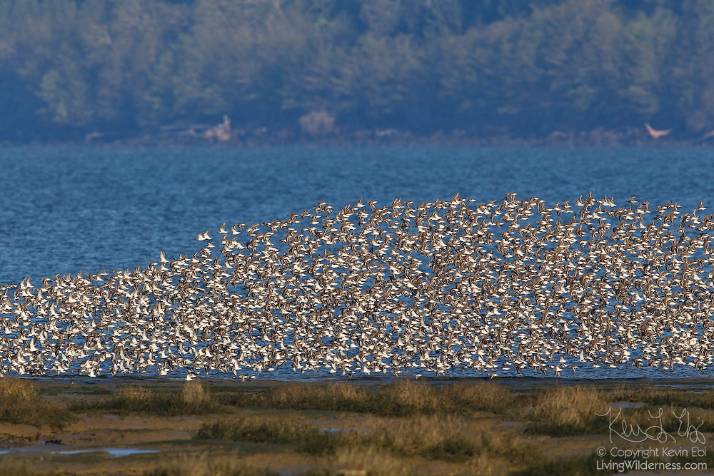 An exceptionally large concentration of shorebirds flies over Bowerman Basin in the Grays Harbor National Refuge in Washington during the spring migration. This flock consists mainly of dunlin (Calidris alpina) and western sandpipers (Calidris mauri). As many as a million shorebirds make a brief stop in the Grays Harbor National Wildlife Refuge each spring during their migration north to their breeding grounds.