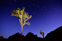 Joshua tree (Yucca brevifolia) at night.