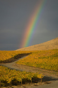 Rainbow over golden vineyards, Red Mountain AVA, central, Washington
