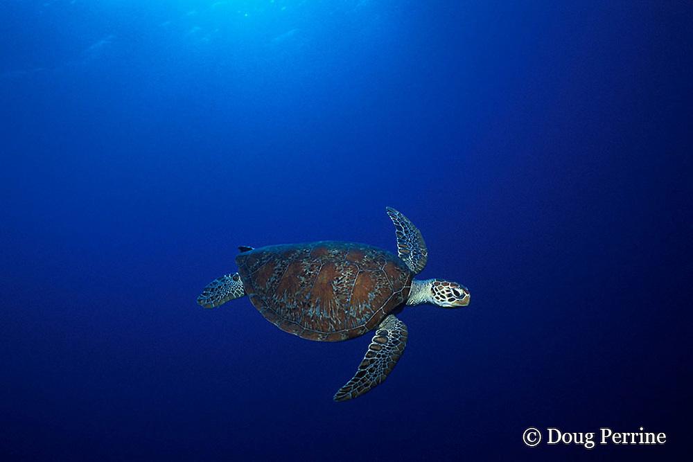 green sea turtle, Chelonia mydas, Pixie Pinnacle, Ribbon Reefs, northern Great Barrier Reef, Australia ( Coral Sea, Western Pacific Ocean )