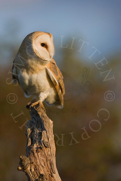 Barn Owl (Tyto Alba) adult, perched on dead tree stump, Norfolk, UK