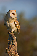 Barn Owl (Tyto Alba) adult, perched on dead tree stump, Norfolk, UK