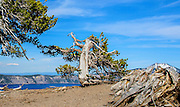 An old tree on the shores of Crater Lake, Oregon.