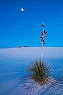 Soaptree Yucca plant (Yucca elata)  at sunset wth full moon above - White Sands National Monument, New Mexico
