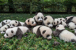 This year's number crop of eighteen Giant baby panda cubs are brought for a portrait   at the Bifengxia Giant panda base in Sichuan province, China October 24, 2015. (Photo by Ami Vitale)