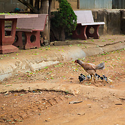 Hen, chicks, Hill Tribe Village; Palong; People; Thailand