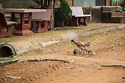 Hen, chicks, Hill Tribe Village; Palong; People; Thailand