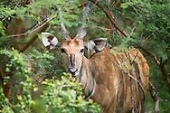 Derby Eland, Taurotragus derbianus, eland gigante, 德氏大羚羊, إيلاند عملاق