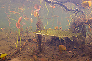 Muskellunge (juvenile)<br />