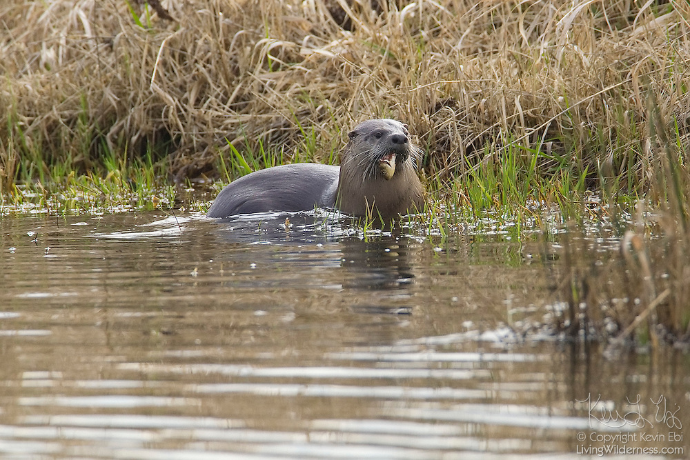 A North American river otter (Lontra canadensis) feeds on a fish on the banks of a channel in the Ridgefield National Wildlife Refuge in Washington state.
