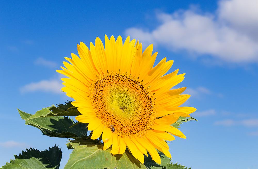 Bee pollinating a flowering sunflower in morning sun near Ryeford, Queensland, Australia