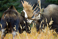 Two Bull Moose lock antlers, Katmai National Park, Alaska