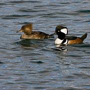 Hooded merganser pair at Point Hudson, Port Townsend, Washington