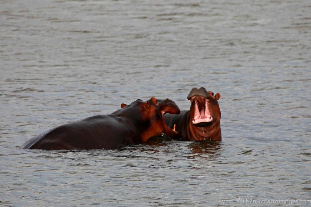 Africa, Zimbabwe, Bumi Hills. Hippos in Lake Kariba.