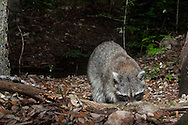 Raccoon, Common Raccoon, North American Raccoon, Northern Raccoon (Procyon lotor)<br /> TEXAS: Travis Co.<br /> Austin<br /> 27-April-2015<br /> J.C. Abbott &amp; K.K. Abbott<br /> photographed using a camera trap