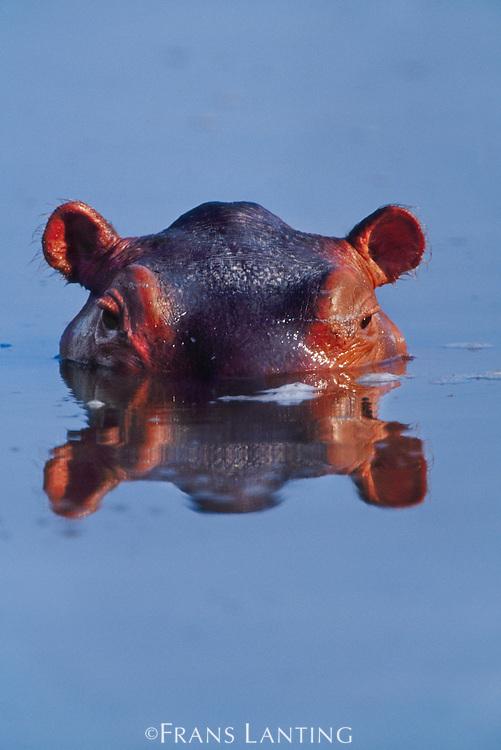 Surfacing hippo, Hippopotamus amphibius, Luangwa Valley, Zambia