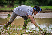 Sunthon Saphirat is transplanting rice today. It's muddy, hot, backbreaking work, but without it, there would be no rice crop. Nakhon Nayok, Thailand Aug 02, 2016. PHOTO BY LEE CRAKER