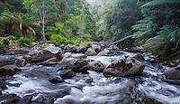 Wild river flowing through lush temperate rainforest in St Columba Falls State Reserve, Tasmania, Australia