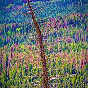 Desicated tree, Rocky Mountain National Park, Colorado
