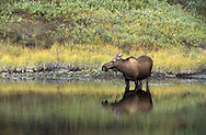 Moose, Alces, alces in Alaska wilderness