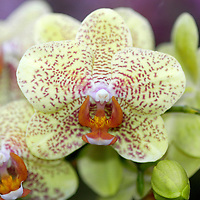 Phalaenopsis Moth Orchid&amp;#xA;&copy; KIKE CALVO - V&amp;W&amp;#xA;( flower colorful plant garden spring tropical plant ornamental orchidaceae bloom blossom bouquet petal floral beautiful inspiring nature botanical<br />