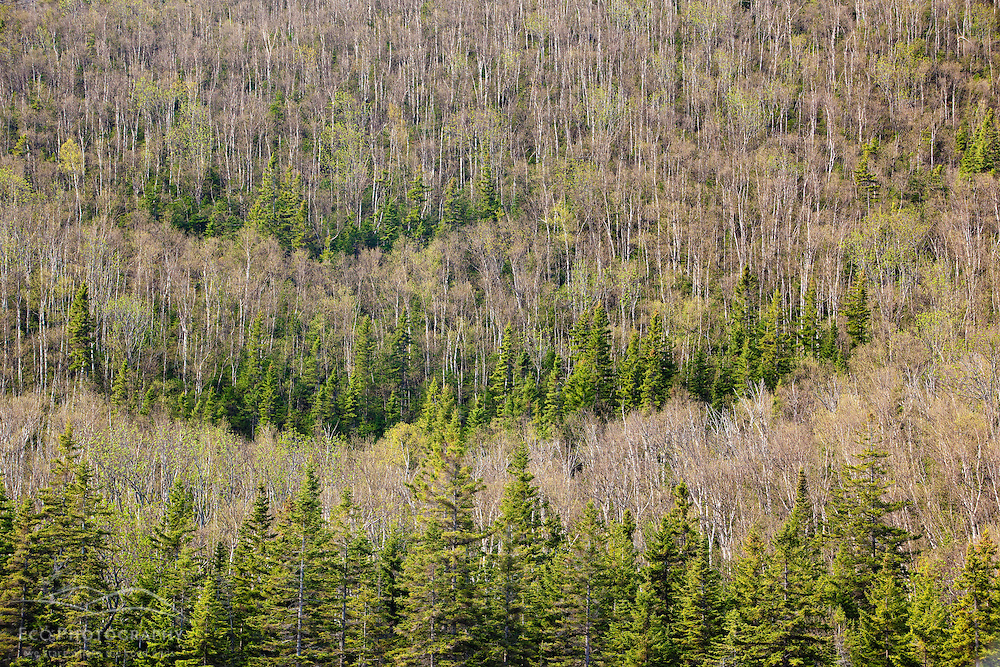 Spruce and paper birch forest in Crocker Cirque at the base of Crocker Mountain in Stratton, Maine.  Near the Appalachian Trail.