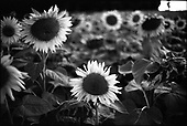 Sunflowers, Couziers, France 2014